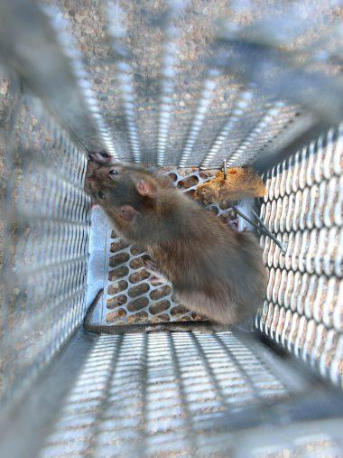 deratyzacja-myszy