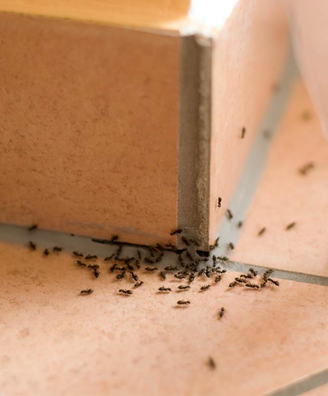zwalczanie mrowek